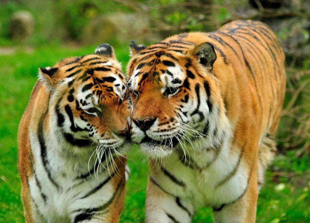 Тигры самка и самец