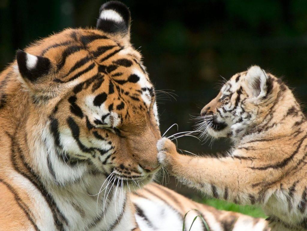 Тигр с тигренком фото