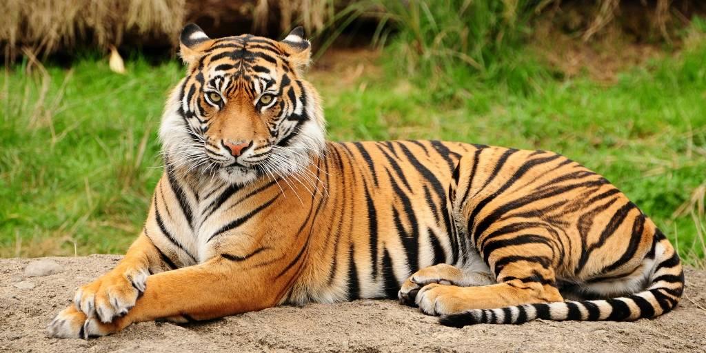 разновидности тигров фото и названия