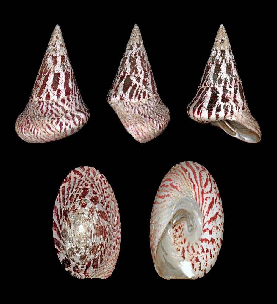 Улитка-водорослеед нилотикус Tectus niloticus