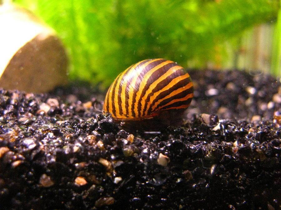 Улитка-зебра или тигровая улитка Neritina natalensis (анг. Tiger snail, zebra snail)