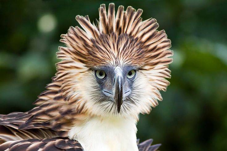 Филиппинский орел Pithecophaga jefferyi