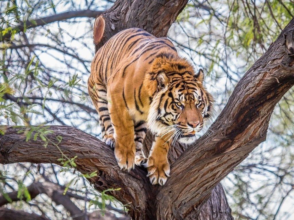 Фото тигра на дереве