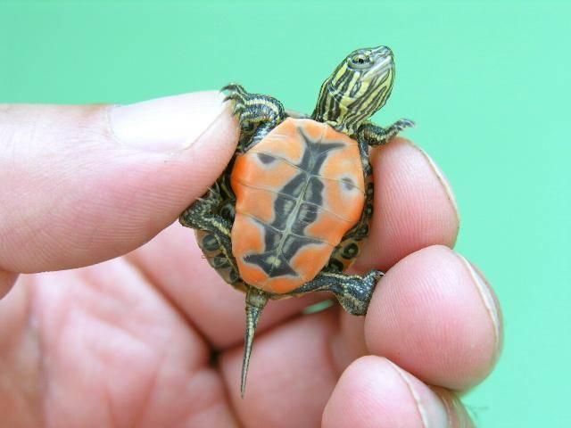 Можно ли сажать маленьких черепах к большим 3552