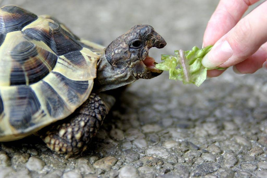 Чем питаются черепахи