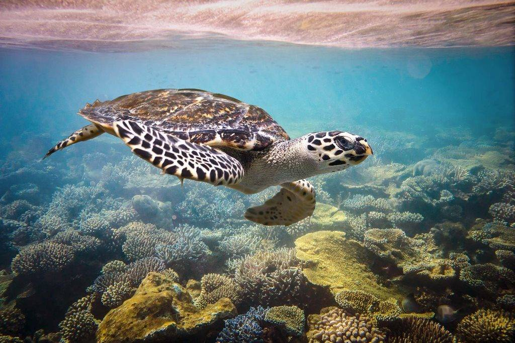 Черепаха бисса (настоящая каретта) Eretmochelys imbricata