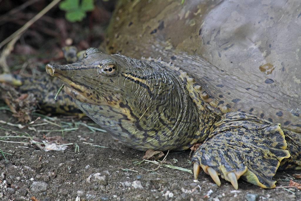 Черепаха трионикс фото