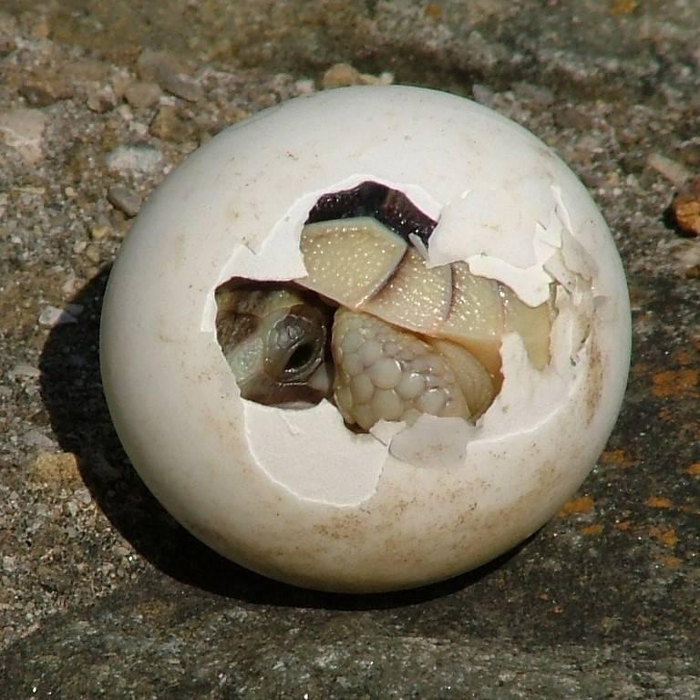 Черепашка в яйце