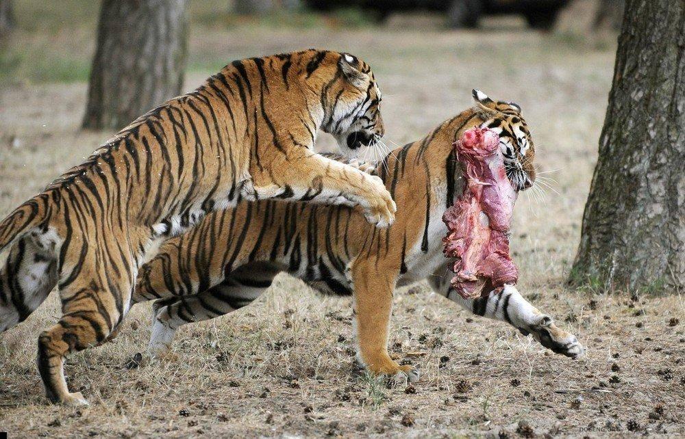 Что едят тигры