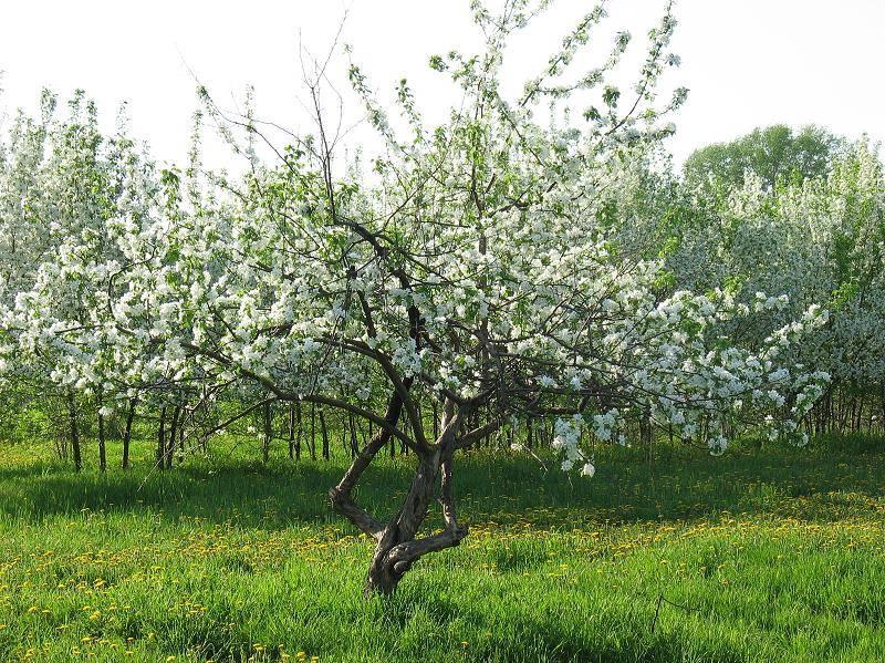 Яблоня лесная (дикая) фото