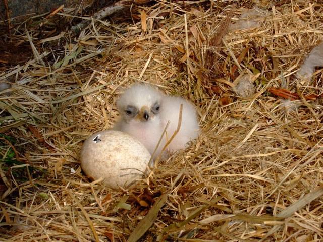 Яйцо орла и птенец в гнезде