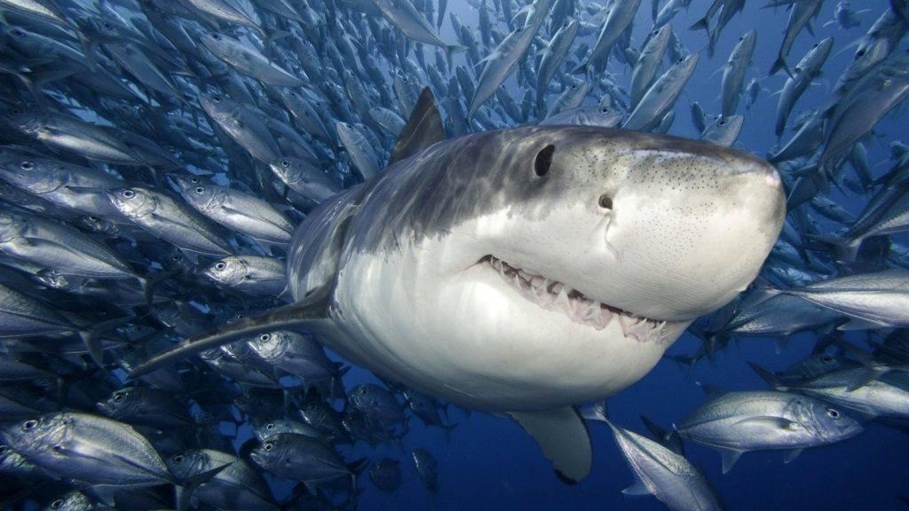 Акула и рыбы
