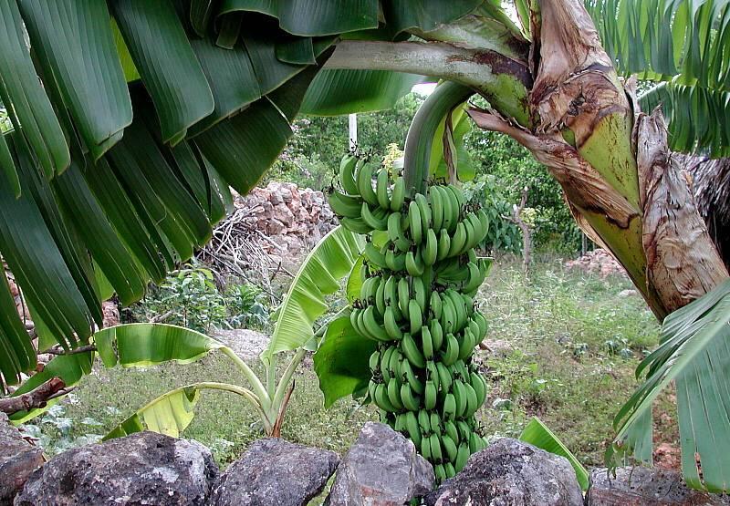 Банан райский (лат. Musa paradisiaca)