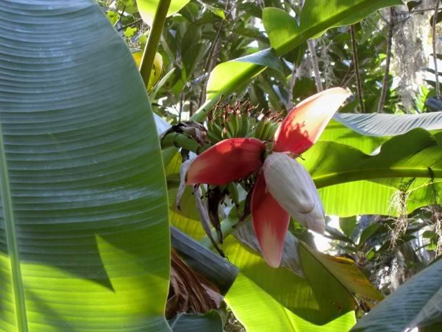 Банан текстильный или абака (лат. Musa textilis)