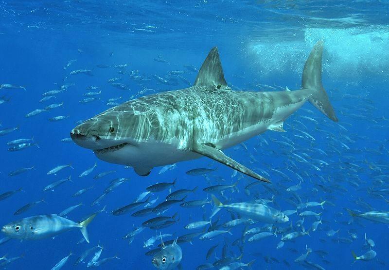 Белая акула фото (лат. Carcharodon carcharias)