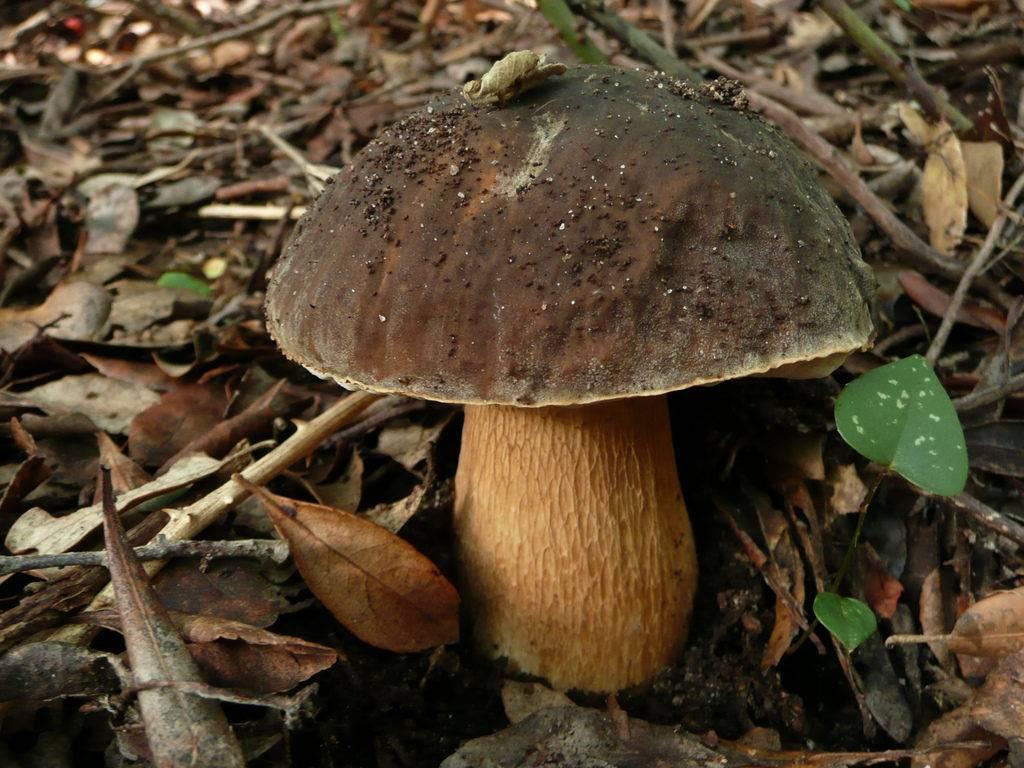 Белый гриб темно-бронзовый (грабовый) (лат. Boletus aereus)