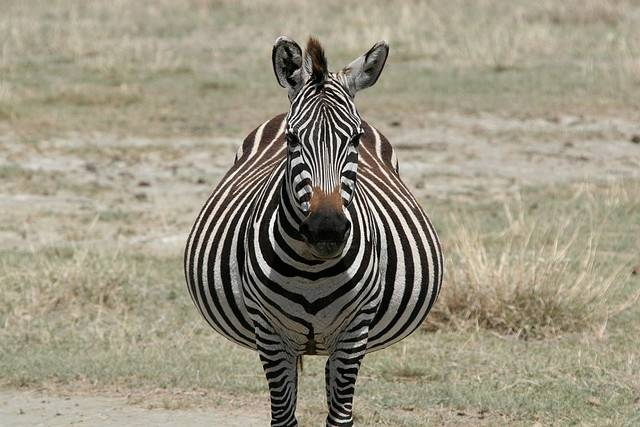 Беременная зебра