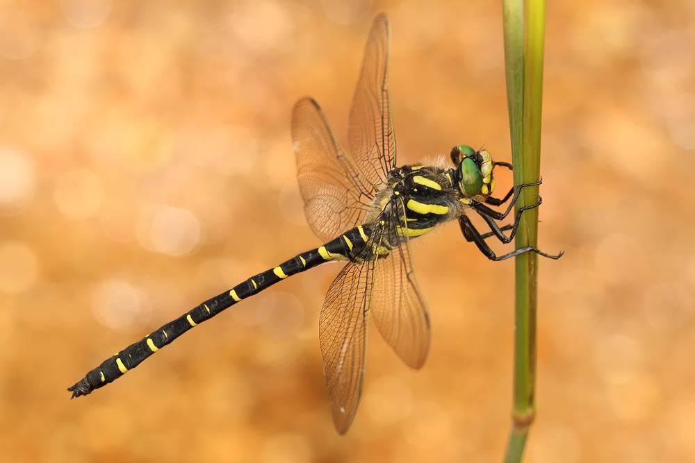 Вид стрекоз Кордулегастер кольчатый (лат. Cordulegaster boltonii)