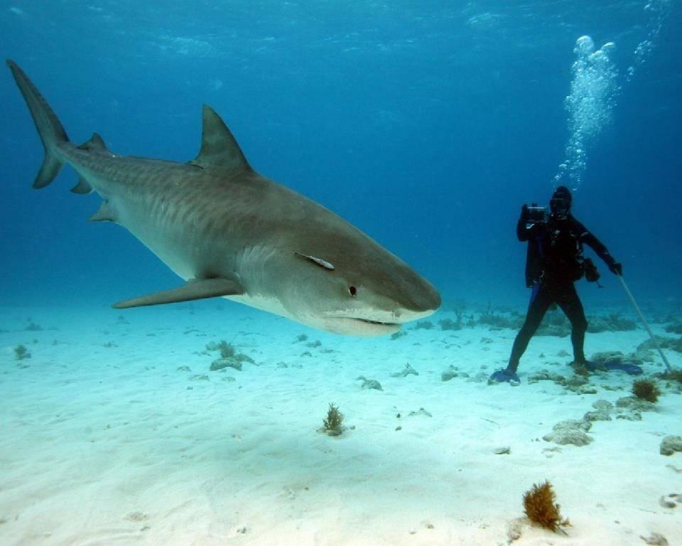 Водолаз и акула