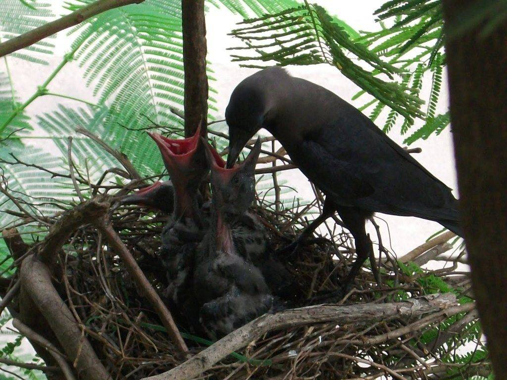 Ворона кормит птенцов