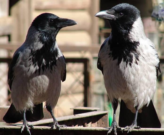 Ворона самец и самка фото