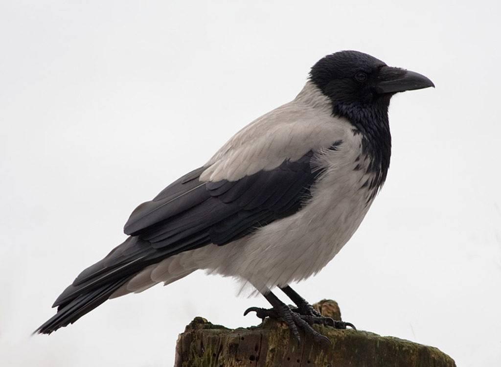 Ворона фото