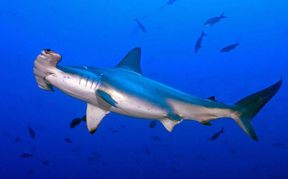 фотографии акулы виды акул фото может продаваться пачках