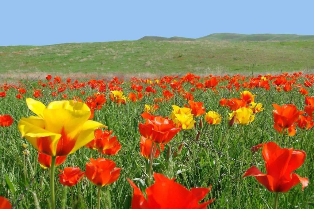 Дикие тюльпаны Грейга в Казахстане