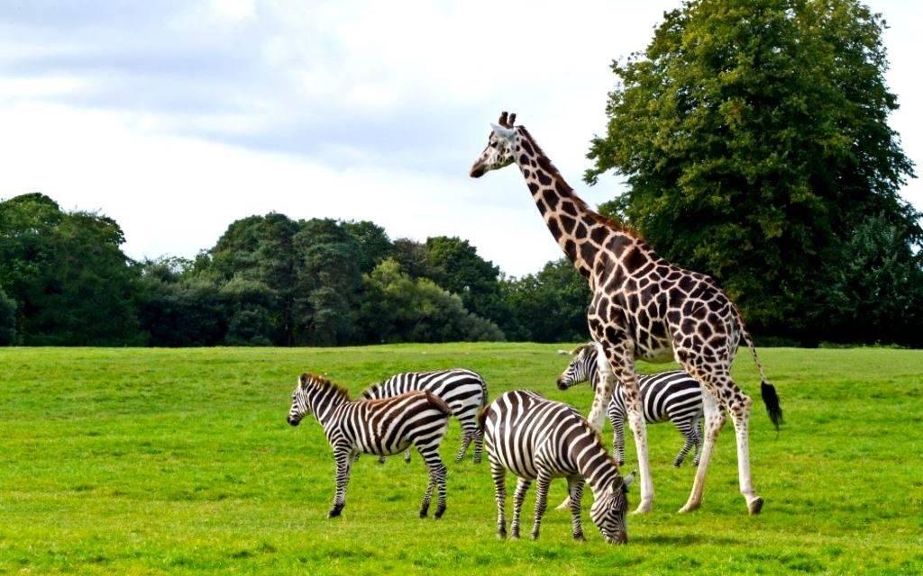 Жираф и зебра