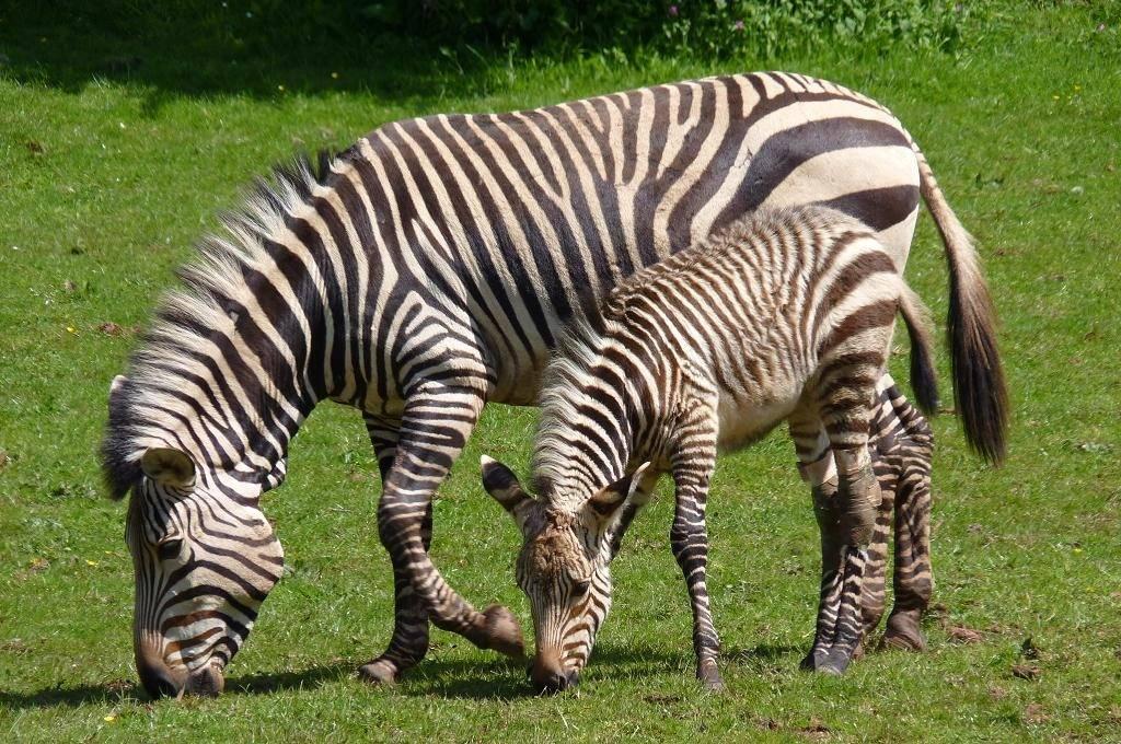 Зебра Хартмана (лат. Equus zebra hartmannae)