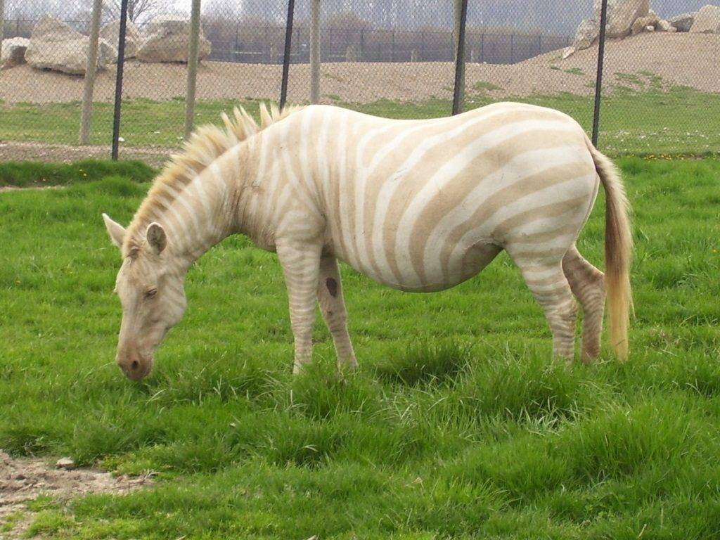 Зебра альбинос, белая зебра