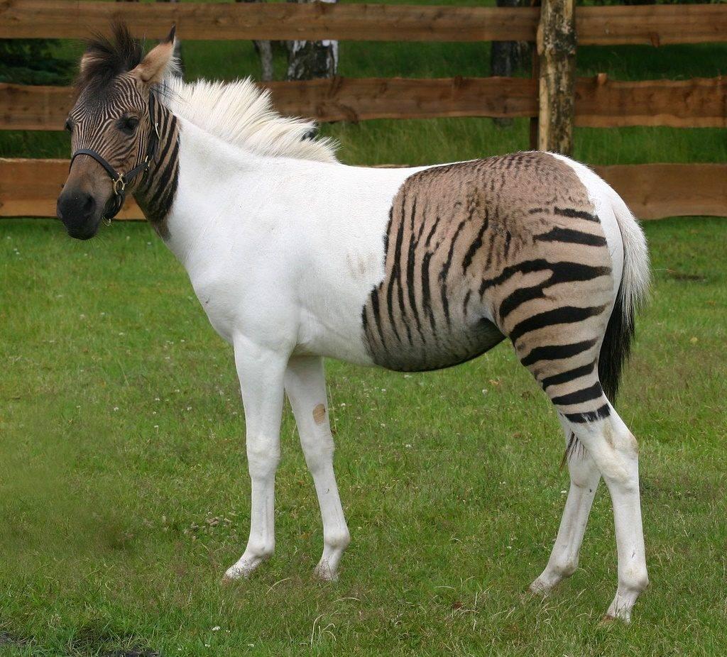 Зеброид фото (гибрид самца зебры и самки лошади)