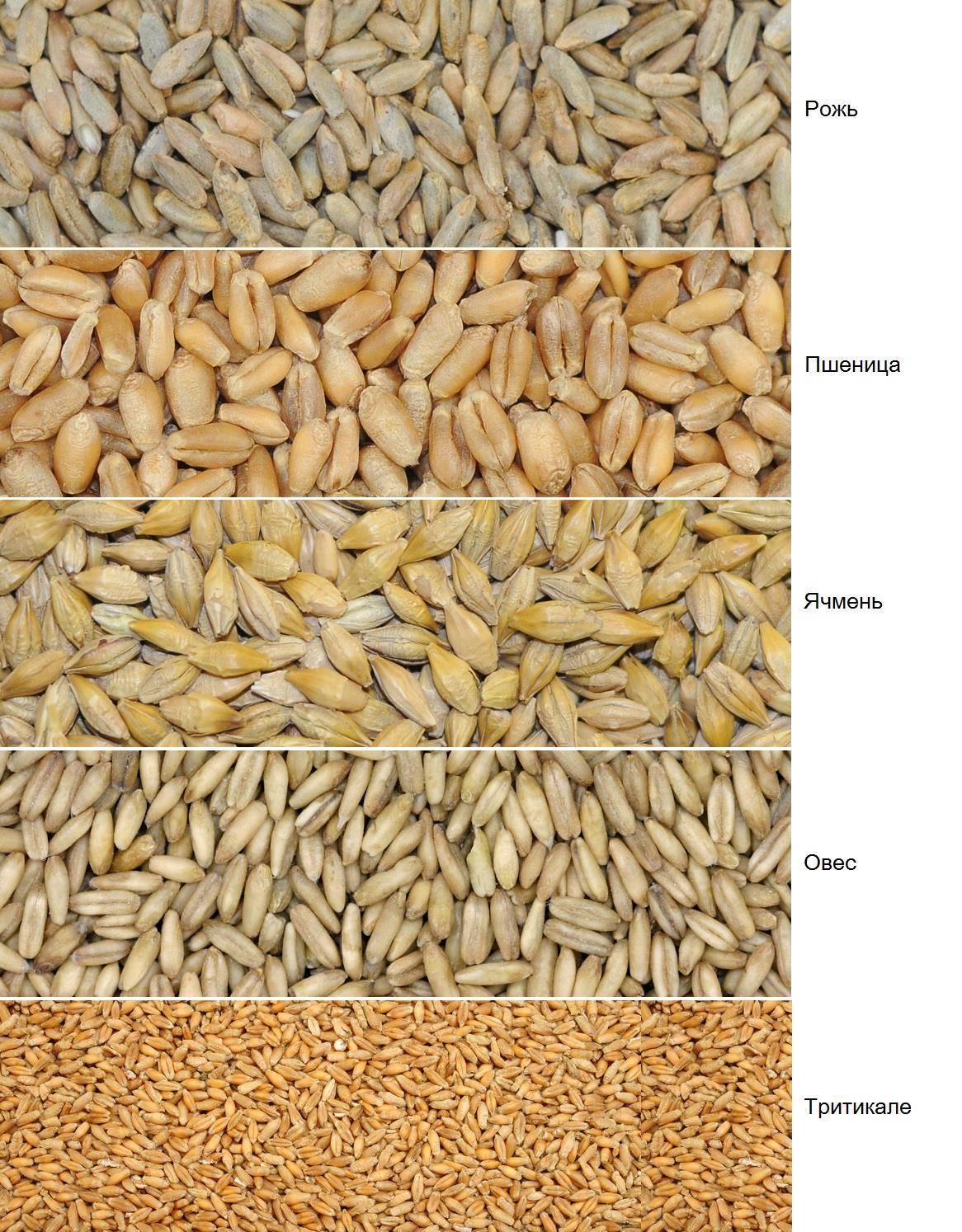 красивые пожелания рожь и пшеница фото различия решили использовать