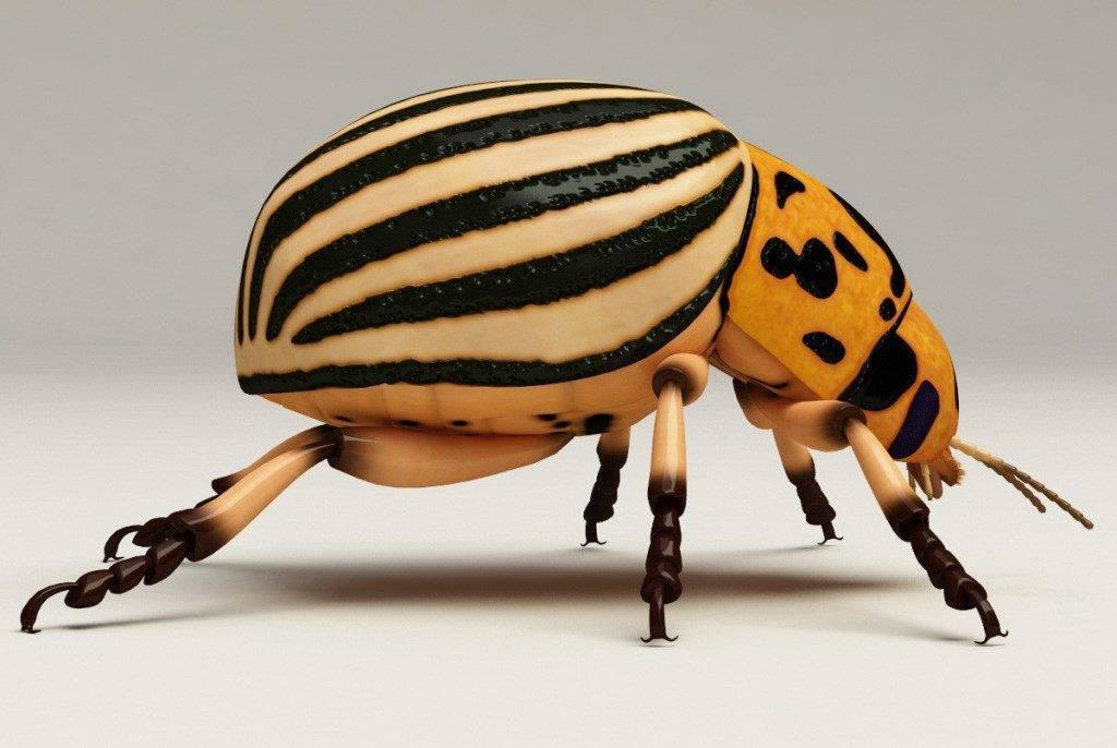 Как выглядит колорадский жук фото