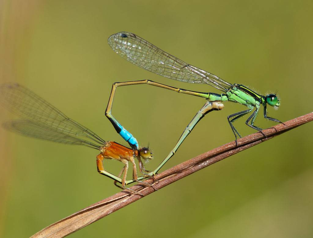 Как размножаются стрекозы