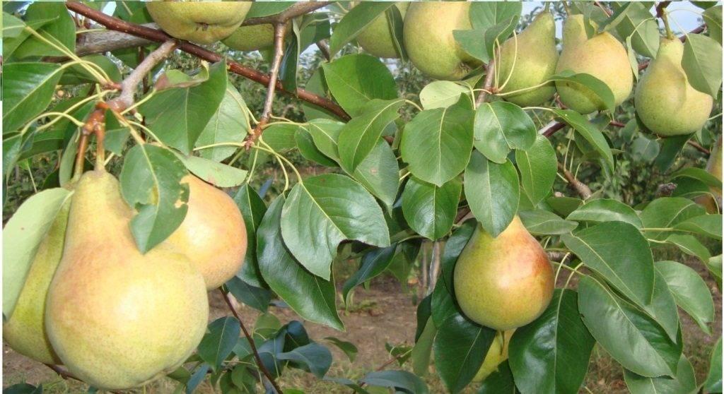 Кисло-сладкая груша сорта Скороспелка из Мичуринска