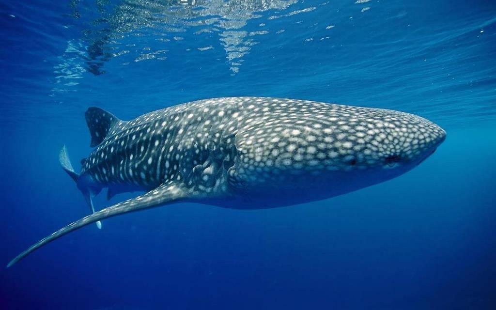 Китовая акула (лат. Rhincodon typus)