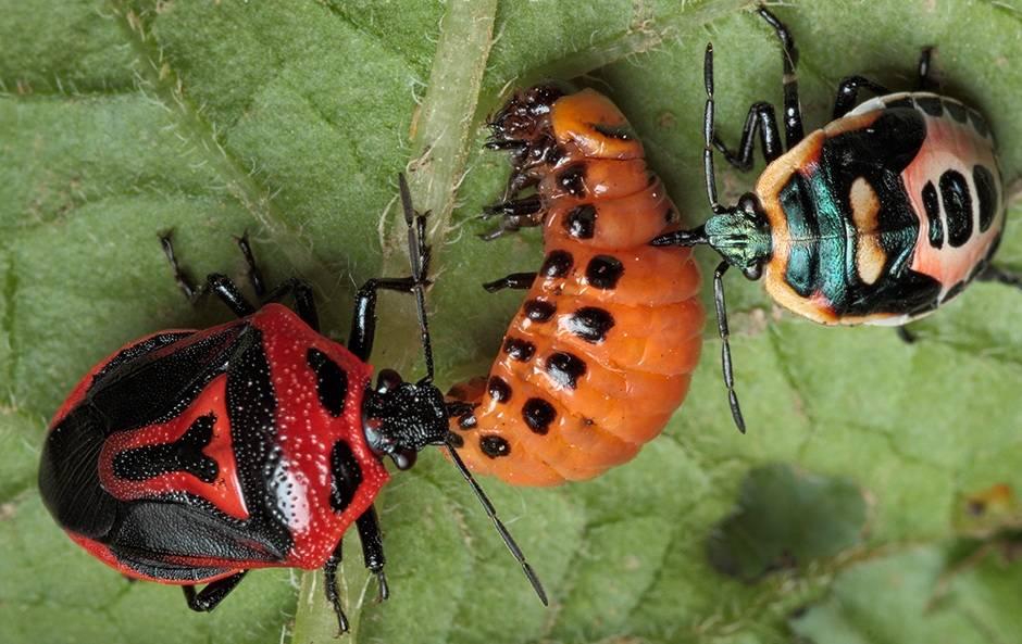Клоп периллюс (Perillus bioculatus) ест колорадского жука