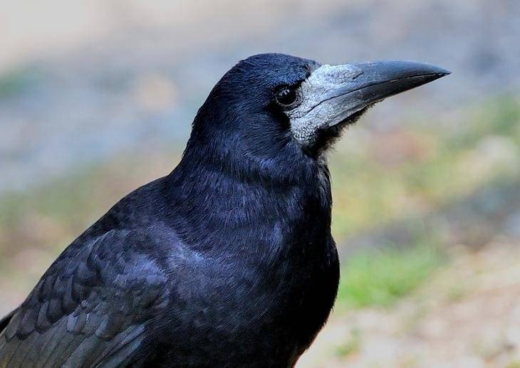 Клюв вороны фото