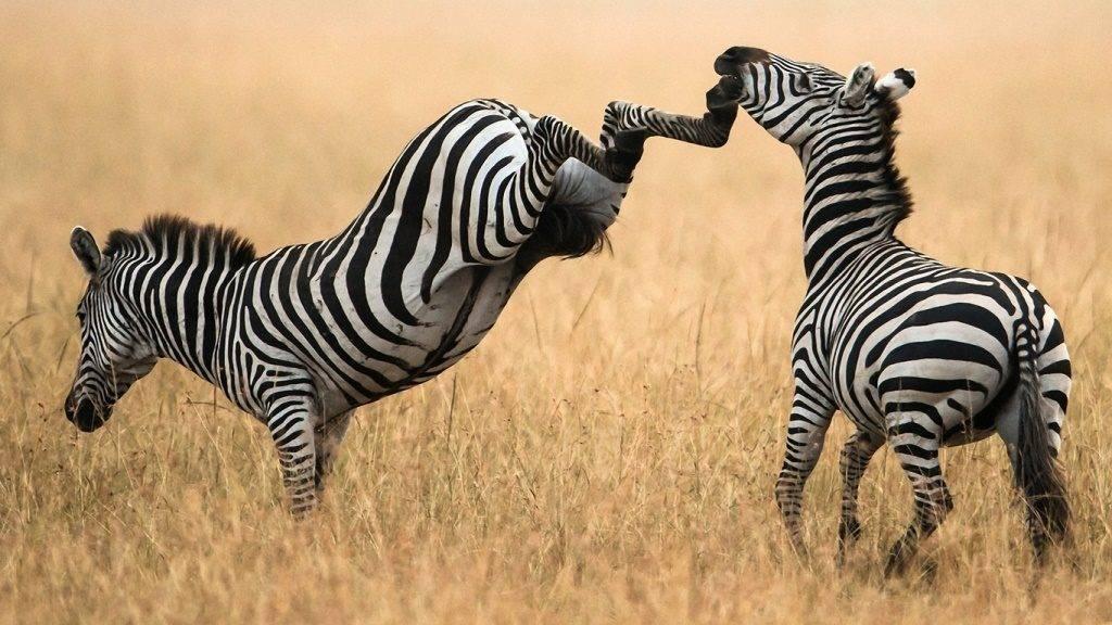 Копыта зебры
