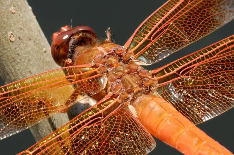 Крылья оранжевой стрекозы