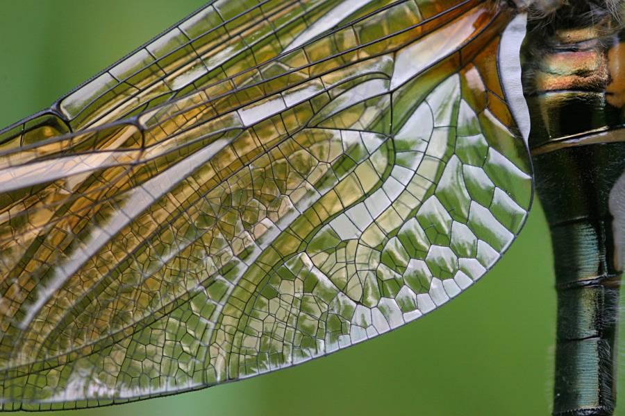 Крылья стрекозы