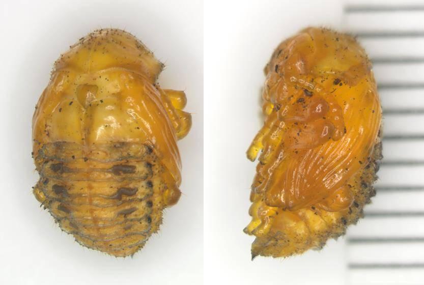 Куколка колорадского жука