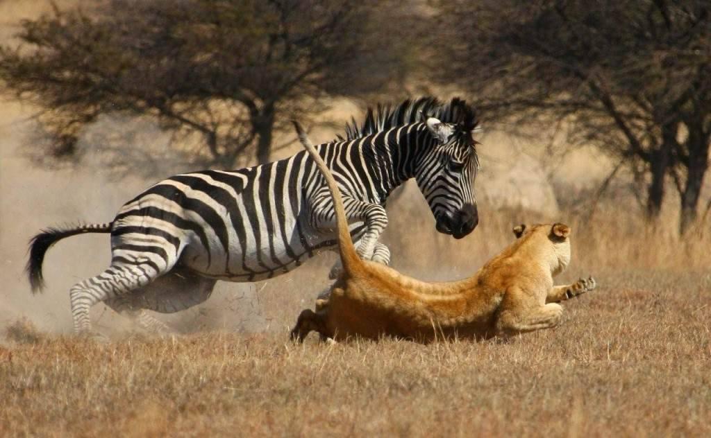 картинки львов пантеры и зебра
