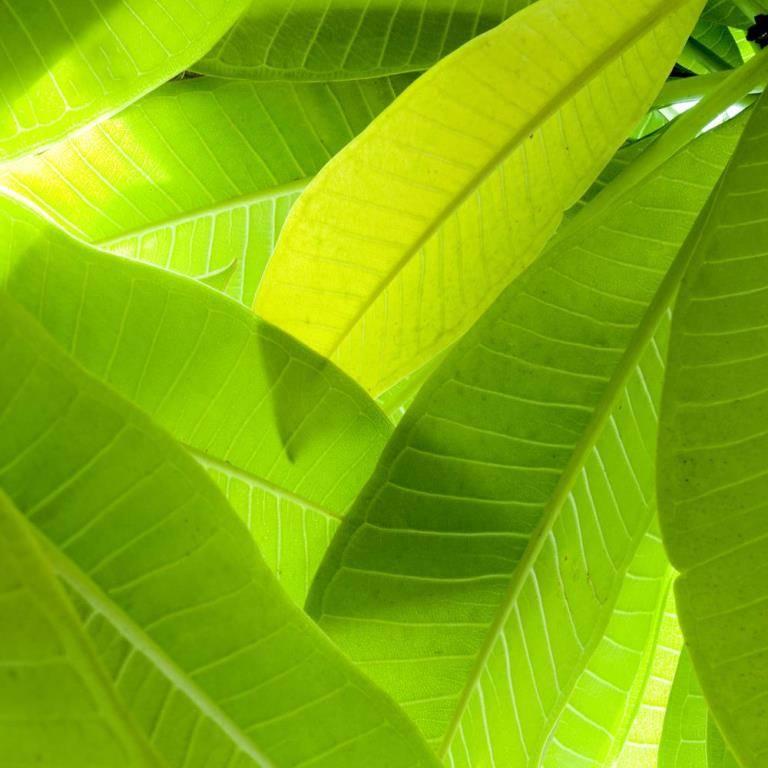 Листья банана фото