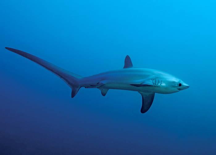 Лисья акула (морская лисица) (лат. Alopias vulpinus)