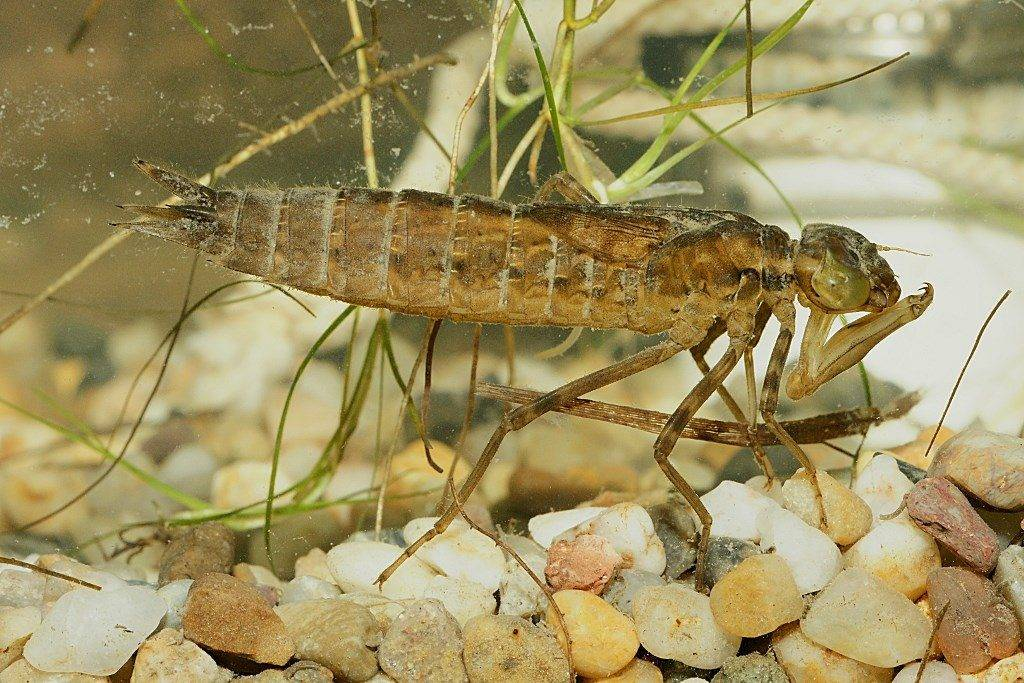 Личинка стрекозы (наяда) фото