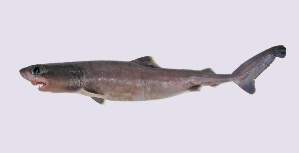 Ложнопесчаная акула (лат. Pseudocarcharias kamoharai)