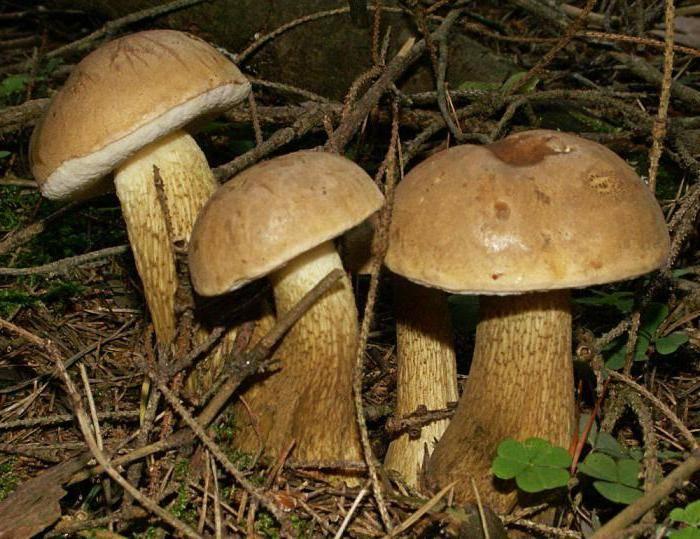 Ложный белый гриб фото