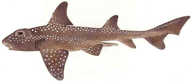Мозамбикская бычья (африканская рогатая) акула (лат. Heterodontus ramalheira)